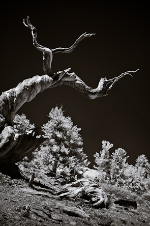 Bristlecone, White Mtns, California USA